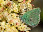 Title: Miller�s Green Hairstreak