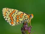 Title: Caucasian Spotted Fritillary