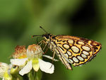 Title: Large Cherequered Skipper