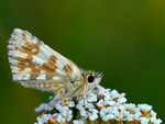 Title: Large Grizzled Skipper
