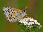 Title: Yellow-banded Skipper