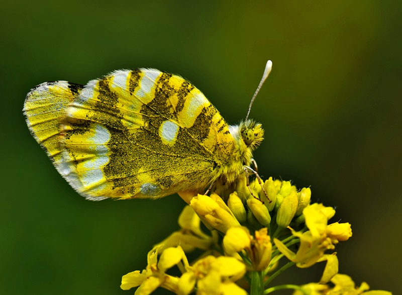 The Sooty Orange Tip