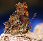 Title: Southern Comma
