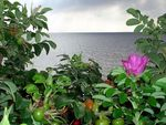 Title: Wild roses by the BalticCasio EX-Z4