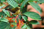 Title: Female Crimson backed sunbird