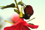 Title: nectar drinking crimson-backed sunbird