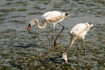 Title: Flamingoes at Sewri Mudflats
