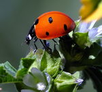 Title: Coccinellidae