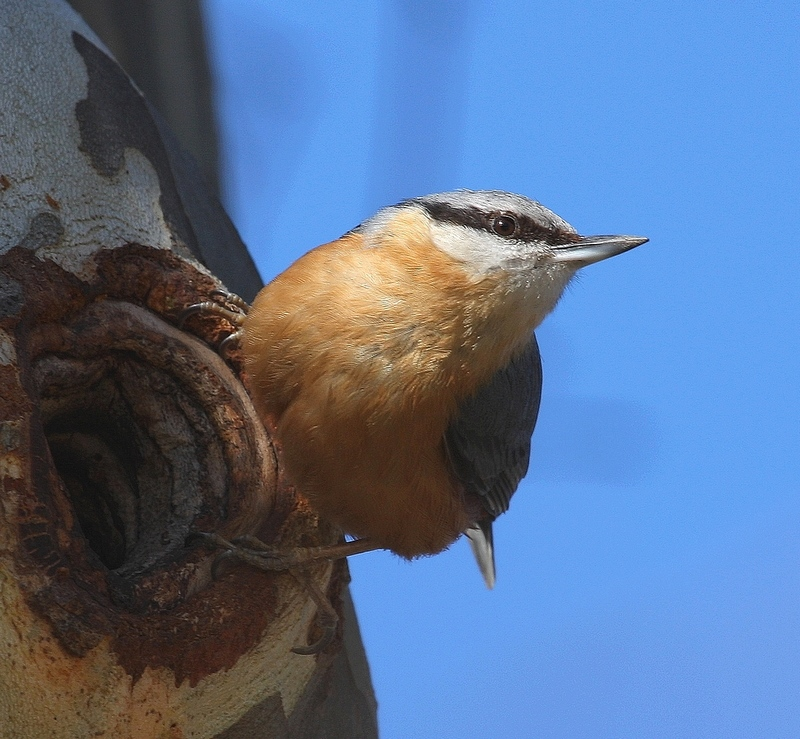 The small european nuthatch