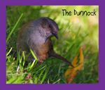 Title: The Dunnock
