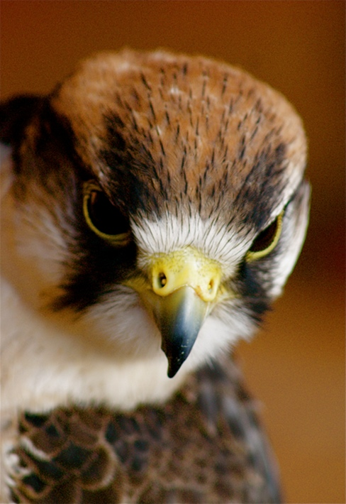 Little Falcon