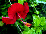 Title: Red Hibiscus