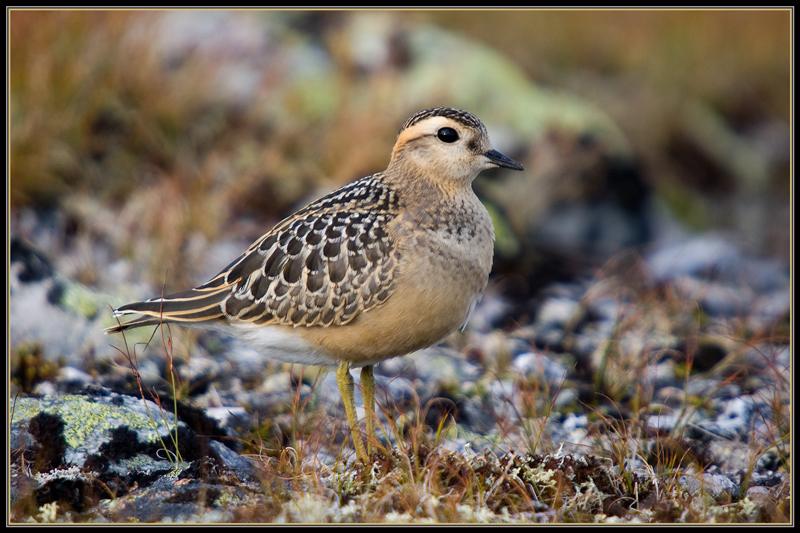 Young Dotterel