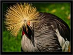 Title: Crowned crane