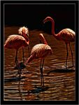 Title: Dark flamingos