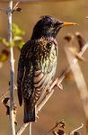 Title: Common Starling