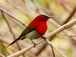 Title: Male Crimson Sunbird