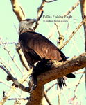 Title: Pallas Fishing Eagle