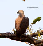 Title: Lesser Fishing Eagle
