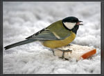 Title: Great Tit (1)