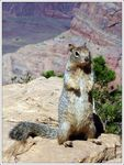 Title: Rock squirrel