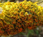 Title: Yellow lichens