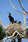 Title: The Great Cormorant-Phalacrocorax carbo