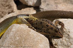Title: Yellowbelly Racer Attack