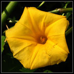 Title: Hawaiian Woodrose