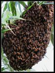 Title: A swarm on a treeCanon PowerShot G12