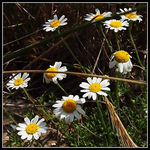Title: Anthemis tomentosaOlympus E 30