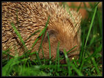 Title: A lovely hedgehog