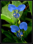 Title: Commelina benghalensis