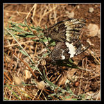 Title: Great Banded Grayling