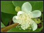 Title: Common GuavaFuji Finepix S602 Zoom
