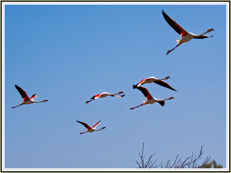 Phoenicopterus is on the air