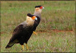 Title: Southern CaracaraCanon PowerShot S5 IS