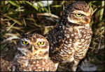 Title: Burrowing Owls