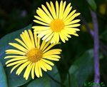 Title: gold daisy