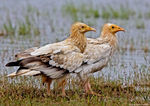 Title: The Egyptian Vulture Adult Pair