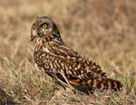 Title: The Short Eared Owl