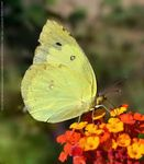 Title: Colias cesonia (Stoll, 1790)