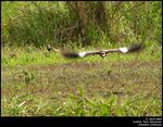 Title: Shouthern Lapwing *for CeltickRanger*