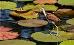Title: Wattled Jacana (female)