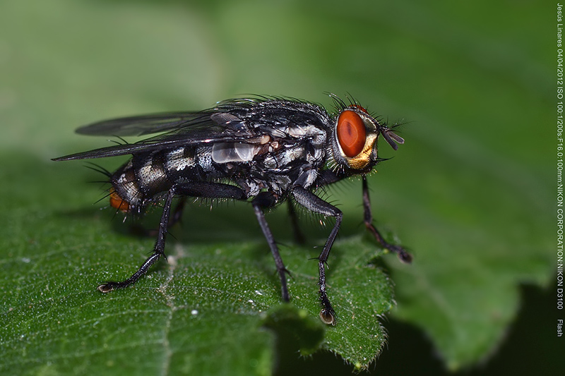 Flesh-fly (Sarcophagidae)