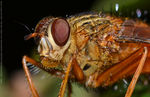 Title: Tachinidae (Close Up)