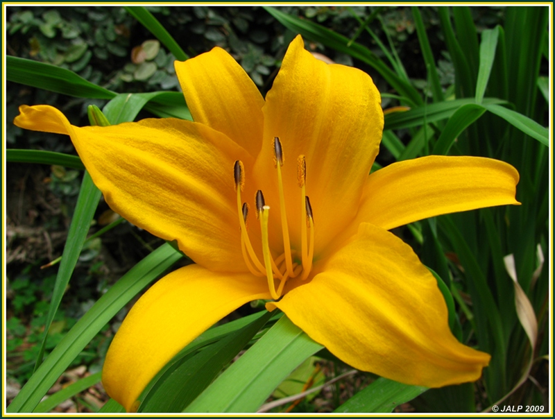 Hemerocallis Flava Yellow Is Forbidden Submitted To