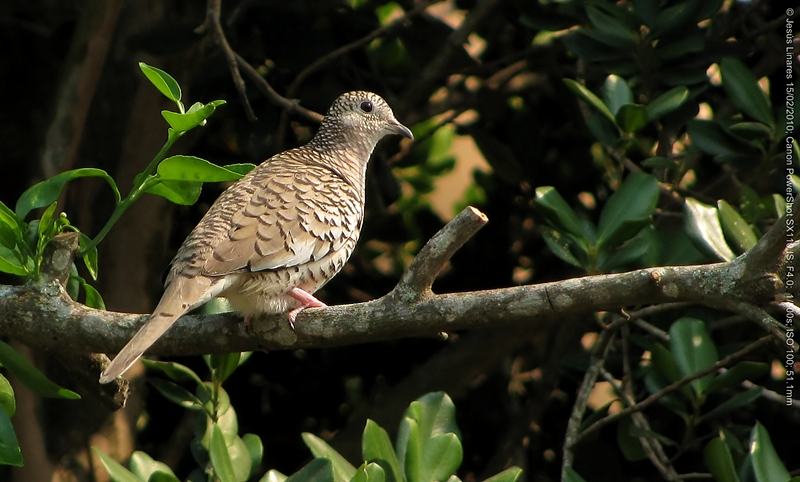 Scaled Dove (Scardafella squammata) 1