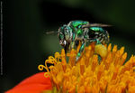 Title: Metallic green bee (ID) Camera: Canon SX 110 IS
