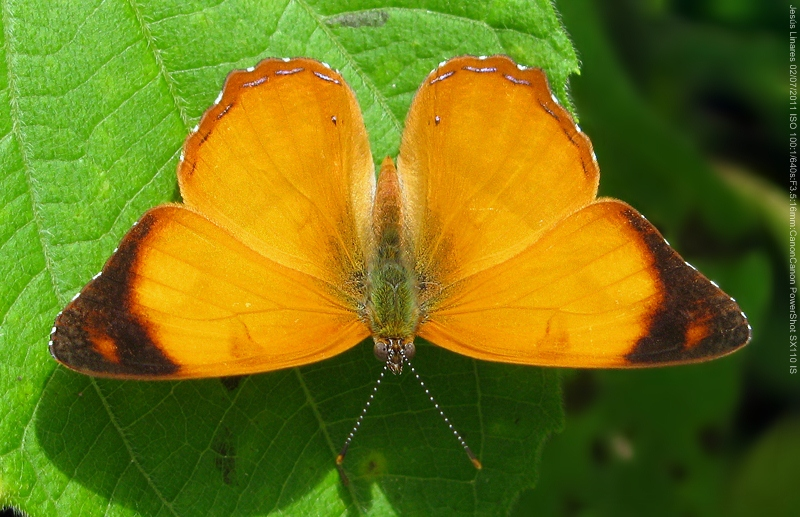 Nica flavilla canthara (Open wings)